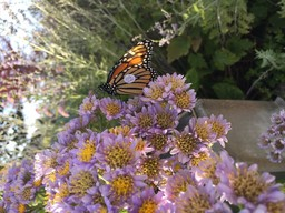 Monarch Butterflies on Campus